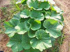 Acorn Squash Plant