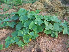 Mature Cucumber Plant