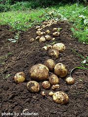 Dug Potatoes