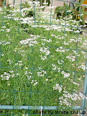 Flowering Cilantro Plants