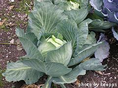 Full Cabbage Plant