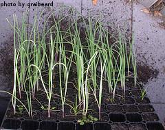 Growing Onion Seedlings