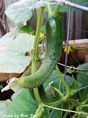 Hanging Cucumber