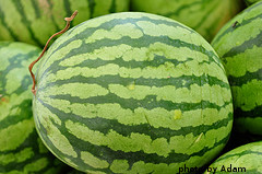 Harvested Watermelon