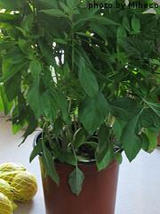 Large Basil Plant In Pot