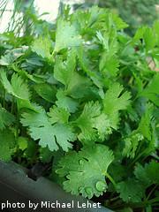Leafy Cilantro Plant