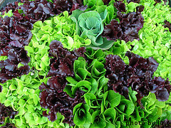 Different Varieties of Looseleaf Lettuce