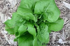Growing Bibb Lettuce