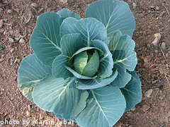 Young Cabbage Plant