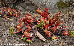 Rhubarb Sprouting