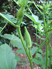 Mature Okra Pods