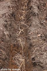 Planted Asparagus Crowns