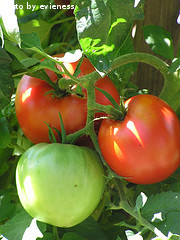 Growing Red and Green Tomatoes