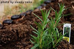Planted Rosemary Seedling