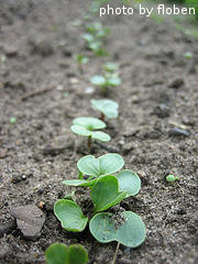 Row Of Radish Seedlings