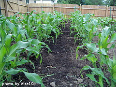 Knee High Corn
