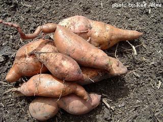 Fertilizing Sweet Potatoes