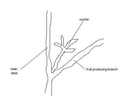 How to Prune Tomato Plant Diagram