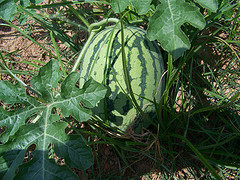 Watermelon On Vine