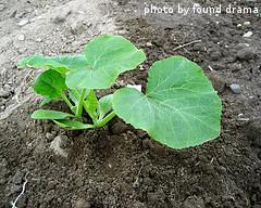 Acorn Squash Seedling