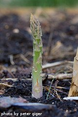 Growing Asparagus Spear