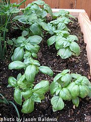 Basil Plants In Container
