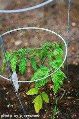 Tomato Plant In Cage