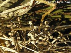 Coriander Seed Pods