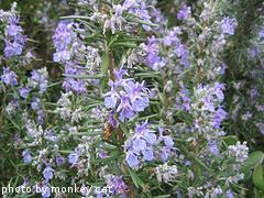 Flowering Rosemary Plant