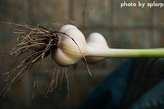 Newly Harvested Garlic Head