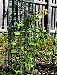Pea Plants Growing Up Cage