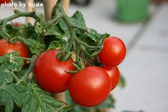 Red Cherry Tomatoes On Vine