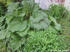 Growing Rhubarb Plant