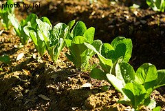 Romaine Lettuce Seedlings
