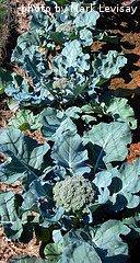 Row Of Broccoli