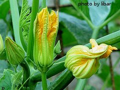 Summer Squash Blossoms